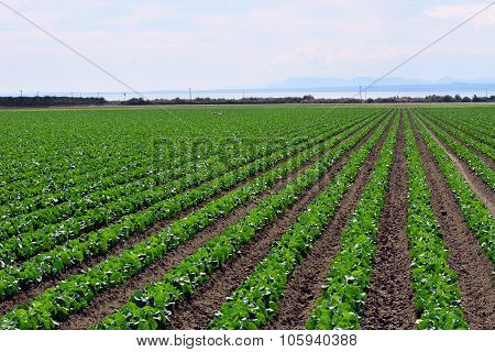 Rows of Crops
