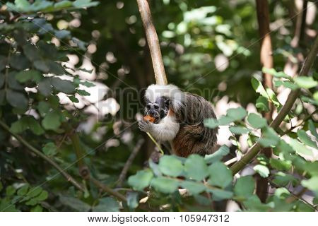 Cotton Headed monkey eating in the trees poster