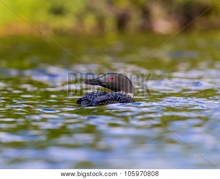 Common Loon swimming in a lake in Northern Quebes Canada.