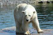 big old polar bear dancing in the sun poster