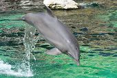beautiful elegant dolphin jumping in turquoise water poster