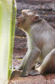 a monkey enjoys a treat at the annual monkey buffet festival at the pra prang sam yot temple in lopburi province 150km (94 miles) north of bangkok november 26 2006. more than 2000kg of fruits and vegetables were used during the festival to promote tou poster