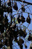 sleeping bats at tree at kakadu national park poster