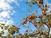 Upward view of an autumn apple tree against blue sky and white clouds. Copy space. poster