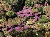 purple marine sponge in the rocky intertidal of east australia poster