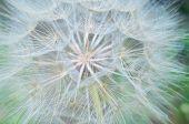 Flower of the white dandelion. Shallow DOF closeup poster