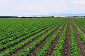 Rows of crops in a field in the Coachella Valley of California near the Salton Sea. poster