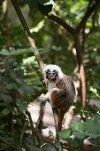 Cotton Headed monkey sitting in the trees poster