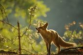 Red fox lick it self in forest beauty autumn backllight poster