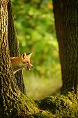 Red fox hidden behing tree trunk peep a lick it self in beatuy sunny forest in autumn poster