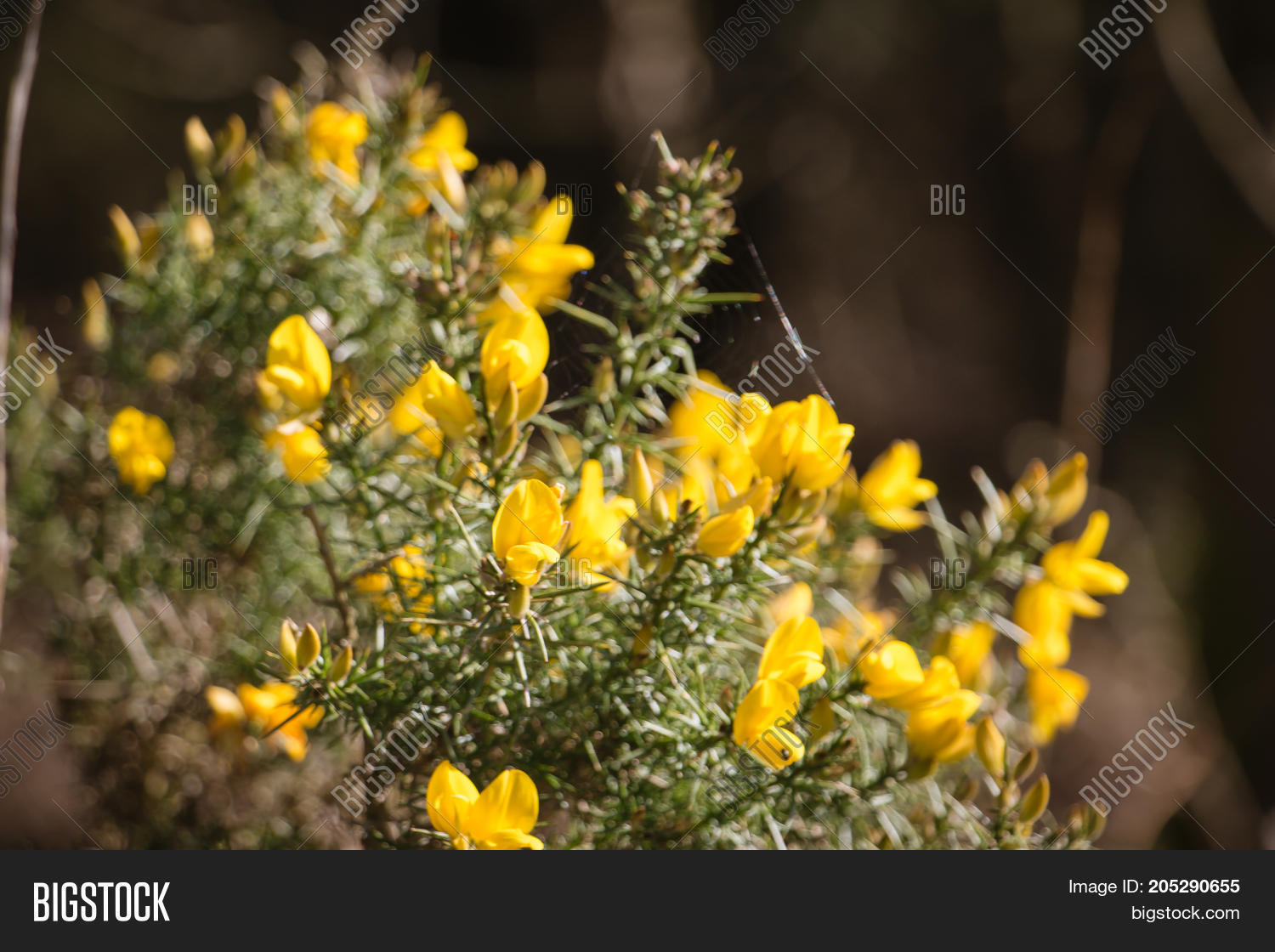 Flowering common gorse image photo free trial bigstock flowering common gorse ulex europaeus a spiky thorn covered plant with bright yellow mightylinksfo