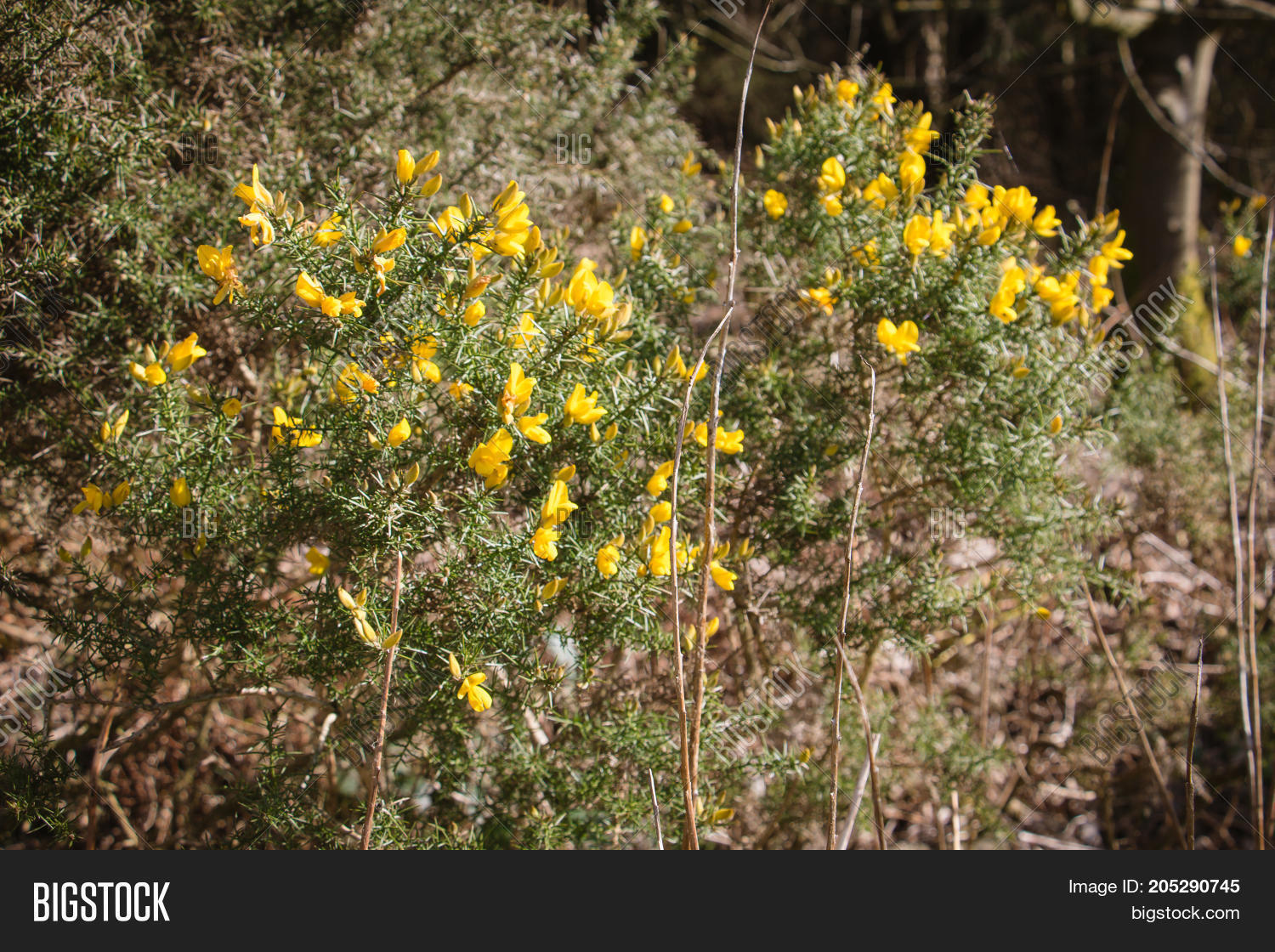Flowering Common Gorse Image Photo Free Trial Bigstock