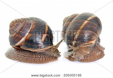 Bourgogne snails in front of white background