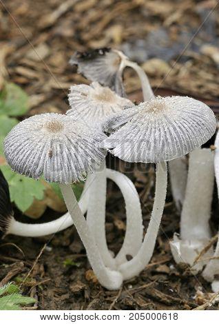 Hare'sfoot Ink Cap Fungus - Coprinopsis lagopus