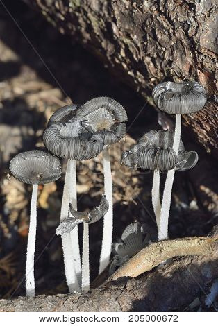 Hare'sfoot Ink-cap Fungus