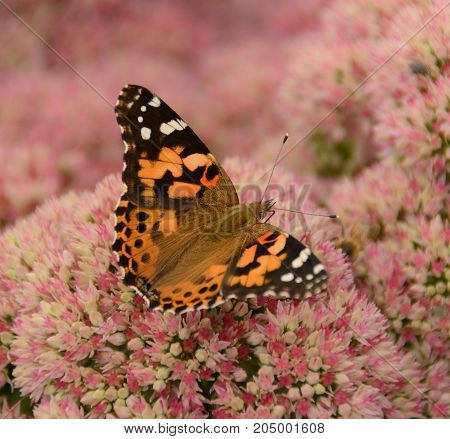 An American Painted Lady (Vanessa virginiensis), shown from above with wings partly open facing to the right, gathering nectar from a sedum plant in Taneytown, Carroll County, Maryland, USA.
