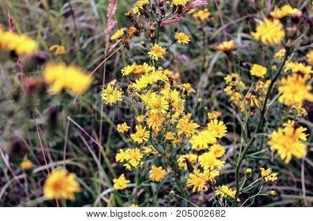 Yellow heads of field flowers photographed close-up.