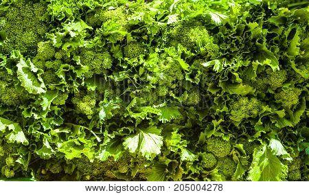 Fresh broccoli rabe - Cima di rapa - Brassica rapa