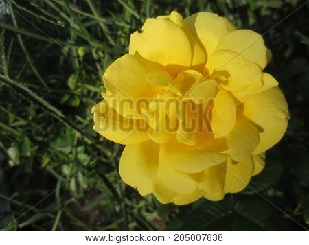 Yellow rose on a background of green leaves in the flower bed in the Park.