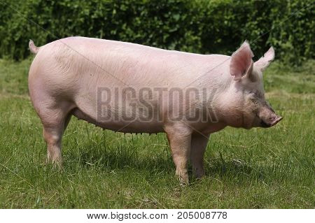 Pink pig grazing on the meadow. Young domestic breed pig on natural environmen