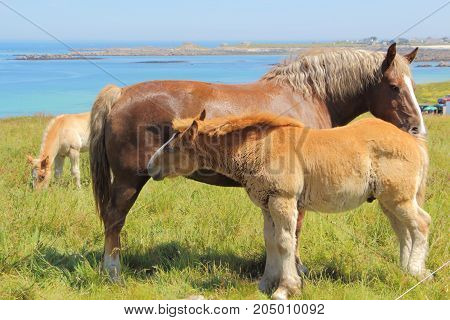 Trait Breton mare and her foal in a field near the sea of Breton coast