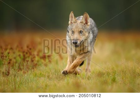 Running wolf cub from front closeup view on colorful meadow