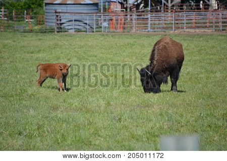 north American bison / buffalo can be seen in several national parks