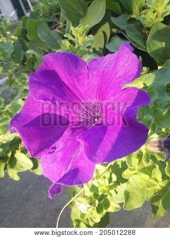 Fiore  viola sbocciato in una giardino siciliano