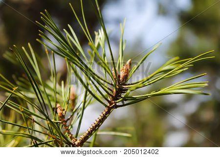 Small cone on a pine branch closeup