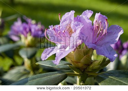 Purple Rhododendron Blossom In The Spring.