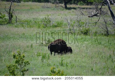 north American bison / buffalo scratching himself on a rock