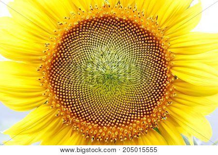 Close up sunflower head show seeds pattern