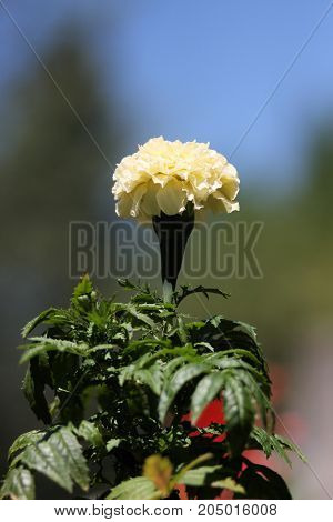 Isolated white marigold on a sunny day.