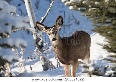 Doe mule deer in the snow on a winter day