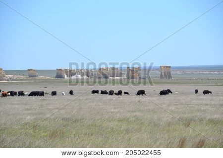 herd of cattle with monument rock in the background