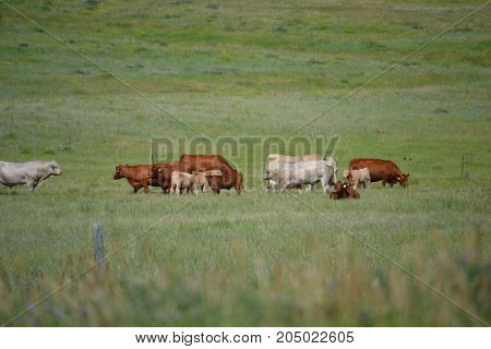 a herd of cattle roaming the countryside