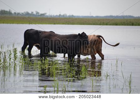 cattle share the marsh with alligators in Seminole Ranch Wildlife Management Area near christmas Florida