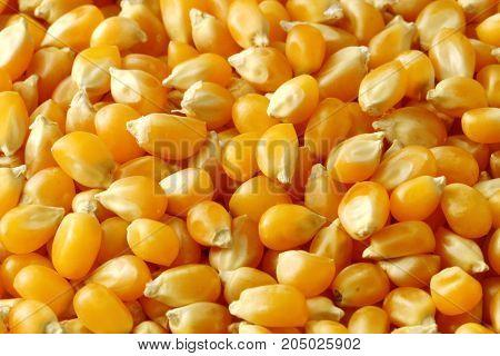 A close up of Corn kernels filling the frame