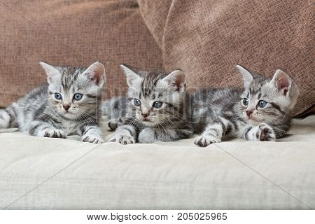 three kitten brothers on sofa - stock image