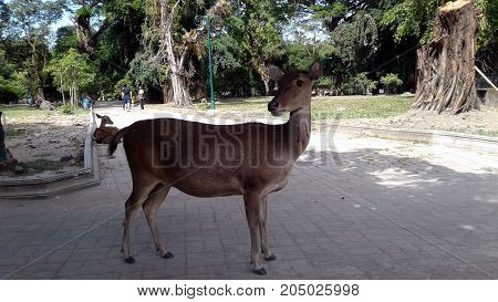 Deer, sambar, or manganese are ruminant mammals (ruminants) that belong to the Cervidae family. One of the hallmark of deer is the antler (deer antler), and not the horn, which is the growth of bone that develops annually (usually in summer) especially on