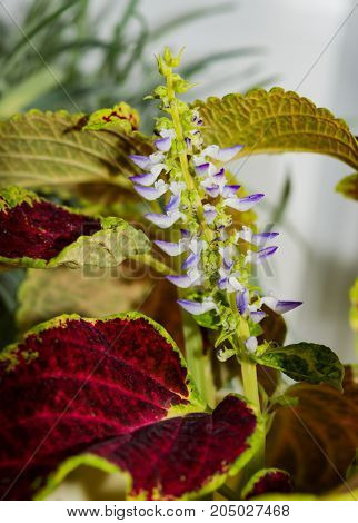 Flower houseplants with brown leaves closeup Coleus