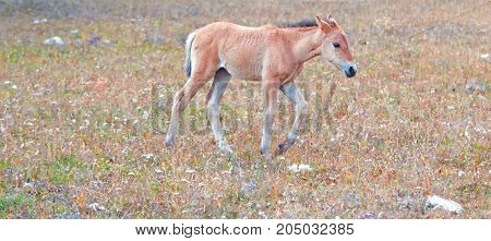 Wild Horse - Foal colt on Sykes Ridge in the Pryor Mountains Wild Horse Range on the border of Montana and Wyoming United States
