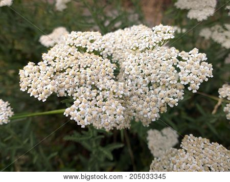 Inflorescence of medical plant - yarrow with white petals close-up