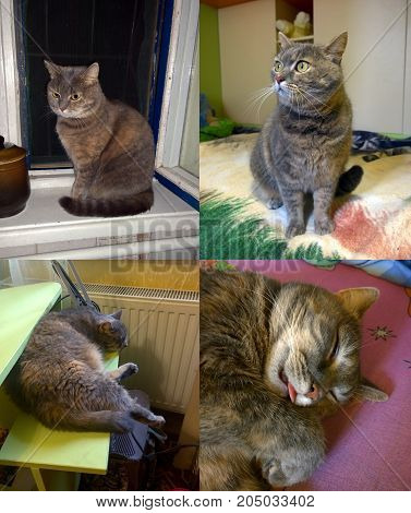 Home gray cat in different angles in the supine position sitting