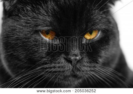 Close-up Serious Black Cat With Yellow Eyes In Dark. Face Black Scottish Fold Cat With Golden Eyes.