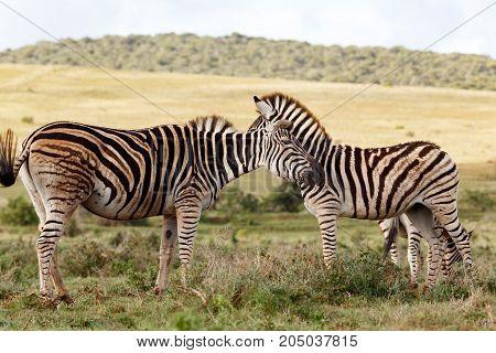 Zebra Whispering Something In The Other Ones Ear