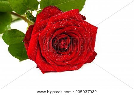 Red rose with drops of dew on a white background