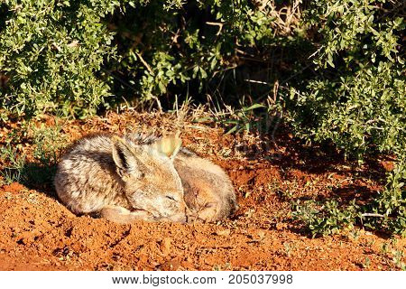 Black-backed Jackal Sleeping Peacefully In A Hole In The Ground