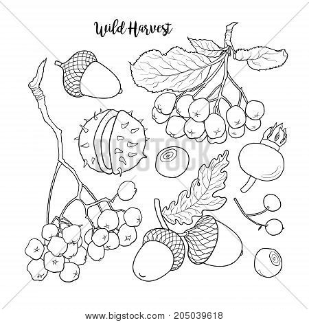 Set of hand drawn black and white autumn, fall fruits and berries, sketch vector illustration isolated on white background. Hand drawn autumn, fall wild harvest, fruits and berries
