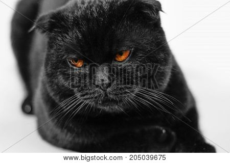 Close-up Offended Serious Black Cat With Yellow Eyes In Dark. Face Black Scottish Fold Cat With Gold